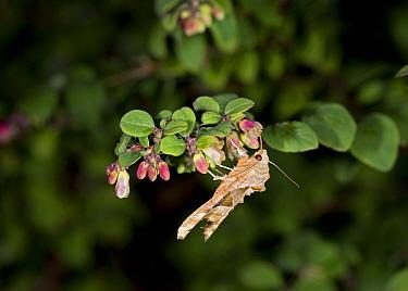 Angle shades moth (Phlogophora meticulosa) nectaring on Snowberry (Symphoricarpos  chenaultii) at night. In garden, Surrey, England, UK. September.