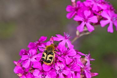 Bee beetle (Trichius fasciatus), a bee mimic, nectaring on Umbel-flowered catchfly (Silene compacta). Picks up pollen on hairy body. Russian Caucasus. June.