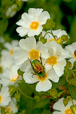 Rose chafer (Cetonia aurata) feeding on Rock rose (Cistus x hybridus) pollen. Cuts in petals where chafer's legs were inserted to prevent it from falling off. In garden, Surrey, England, UK. June.