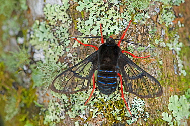 Red-legged bumble-moth (Homoeocera gigantea) on Lichen covered tree trunk. Costa Rica.