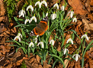 Red admiral (Vanessa atalanta) basking in sun, on Snowdrops (Galanthus nivalis). In garden, Surrey, England, UK. February.