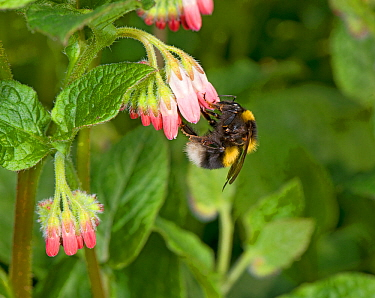 Garden bumblebee (Bombus hortorum) queen nectaring on Comfrey (Symphytum 'Hidcote Pink') flowers. In garden, Surrey, England, UK. March.