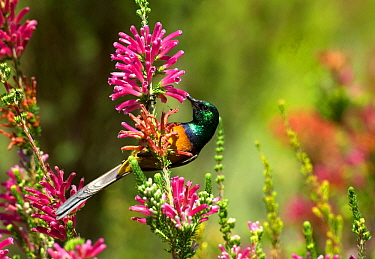 Orange breasted sunbird (Anthobaphes violacea), male nectaring on Heather (Erica sp). Kirstenbosch Botanic Garden, Cape Town, South Africa. February