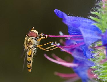 Marmalade hoverfly (Episyrphus balteatus) feeding on pollen on Viper's bugloss (Echium vulgare) anther. Dolomites, Italy. June.