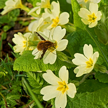 Common bee fly (Bombylius major) nectaring on Primrose (Primula vulgaris). This insect is the main pollinator of Primrose. In nature reserve, Surrey, England, UK, April.
