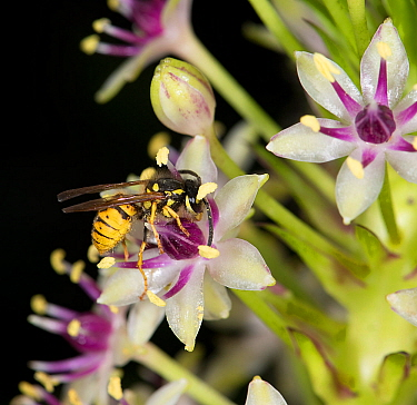 Wasp (Vespula germanica) nectaring on Pineapple lily (Eucomis comosa). Pollen is deposited on underside of wasp's hairy body and transferred to stigma of next flower visited. Lily cultivated in ga...