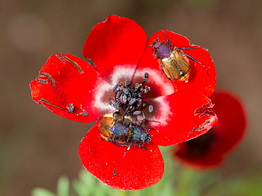 Red bowled anemone (Anemone bucharica) with dark stamens and patterns on petal bases to attract Scarab beetle (Eulasia sp) pollinators. Beetles pick up pollen on hairy bodies but can damage petals, Ta...