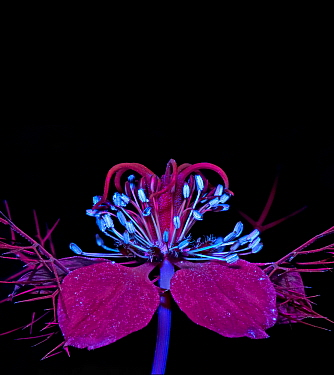 Love-in-a-mist (Nigella damascena) stamens fluroescing in UV light. Ring of nectaries are dark red with blue UV reflective hairs.