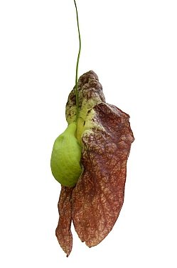 Brazilian Dutchman's pipe flower (Aristolochia gigantea) with green inflated pouch. Flower smells of carrion to attract fly pollinators. Cultivated in glasshouse, Surrey, England, UK. Native to Br...