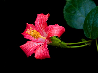 Mandrinette (Hibiscus fragilis), cultivated in breeding program at Kew Gardens, London, UK. Endemic to Mauritius.