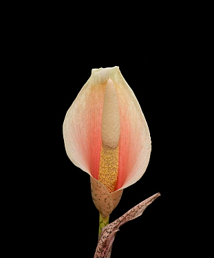 Voodoo lily (Amorphophallus bulbifer). Native to Asia.
