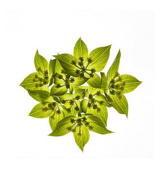 Thorowax (Bupleurum rotundifolium) umbel with green bracts, backlit in studio.