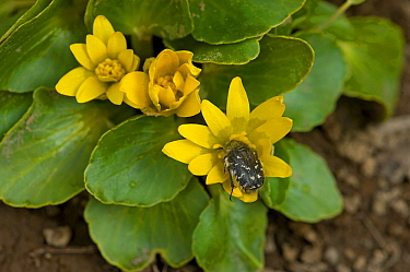 Blossom scarab beetle (Epicometis hirta) feeding on Ficaria flower (Ficaria fascicularis). In snow melt area, Turkey. May.