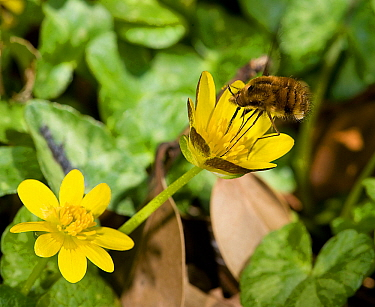 Bee fly (Bombylius major) foraging on Lesser celandine (Ficaria verna) on roadside verge. Pollen is picked up on long proboscis and legs when touching anthers. Surrey, England, UK. April.
