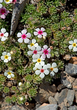 Rock jasmine (Androsace sericea) flowers. Colour of corona ring indicates age and nectar content of flower. Mountains of Heaven / Tian Shan, Kazakhstan. June.