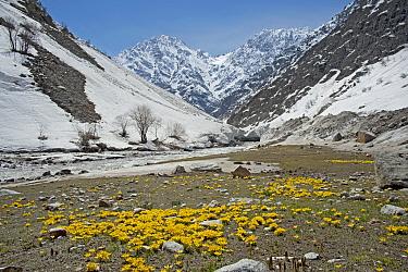 Celandine crocus (Crocus korolkowii) carpets in areas of snowmelt. Near Ansob Pass, Tajikistan. April 2014.