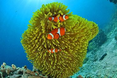 False clown anemonefish (Amphiprion ocellaris) in a magnificent sea anemone (Heteractis magnifica), Sulu sea, Philippines