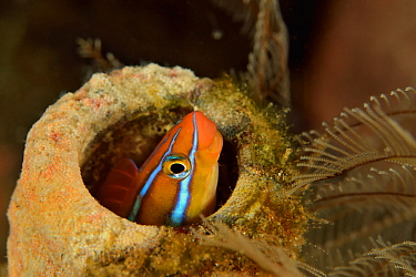 Blue-striped blenny (Plagiotremus rhinorhynchos) hiding in a sponge, Sulu sea, Philippines