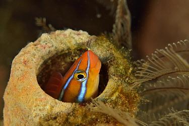Blue-striped blenny (Plagiotremus rhinorhynchos) hiding in a sponge, Sulu sea, Philippines