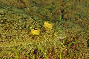 Close-up of Peacock flounder (Bothus mancus), Sulu sea, Philippines