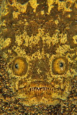 Stargazer (Uranoscopus sulphureus) half buried in the sand, Sulu sea, Philippines