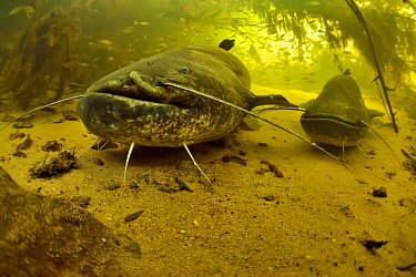 Two Wels catfish (Silurus glanis) on the bottom of a river. The one on the foreground has a scar on its face probably caused by a fishing hook, Cher River, Loir-et-Cher Department, France