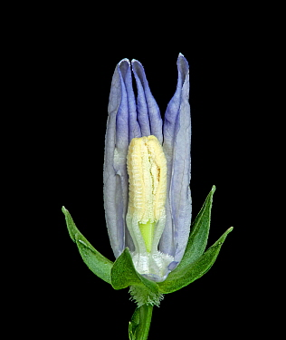 Peach leaved bellflower (Campanula persicifolia) dissection, petals removed to show how stamens transfer pollen to style via secondary pollen presentation in bud stage. Focus stacked.