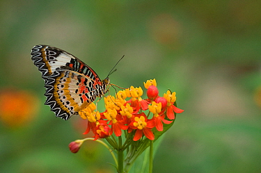 Leopard lacewing (Cethosia cyane) nectaring on Tropical milkweed / Bloodflower (Asclepias curassavica). Yunnan, China.