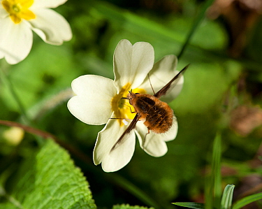 Common bee fly (Bombylius major) feeding on Primrose (Primula vulgaris). March.