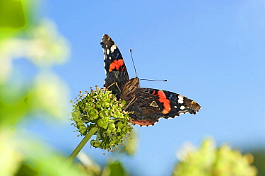 Red admiral (Vanessa atalanta) nectaring on Ivy (Hedera helix). September.