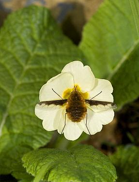 Large bee fly (Bombylius major) feeding on Primrose (Primula vulgaris). England, UK. March.