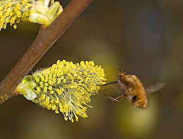Common bee fly (Bombylius major) nectaring on Goat willow (Salix caprea) catkin. Surrey, England, UK. March.