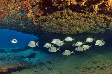 Several common two-banded sea breams (Diplodus vulgaris) under a cave, Canary Islands