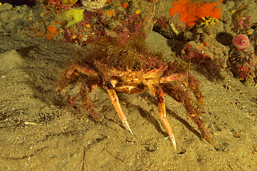 Lesser / Little spider crab (Maja crispata), Canary Islands