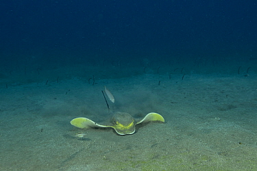 Common eagle ray (Myliobatis aquila) searching in the sand for a prey with a pearly razorfish / cleaver wrasse (Xyrichtys novacula). On the right, we can make out a flounder laying on the sand and bro...