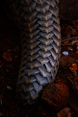 Tail of an adult Temminck's Ground Pangolin (Smutsia temminckii) showing the scales that make pangolins the world's most illegally trafficked mammal. More pangolins are illegally trafficked than...