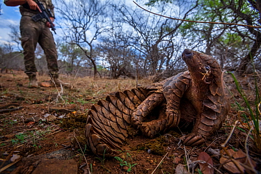 Anti-poaching guard keeps watch over an adult Temminck's Ground Pangolin (Smutsia temminckii) as it reclines in the shade to cool down while foraging for ants during a managed release back into th...