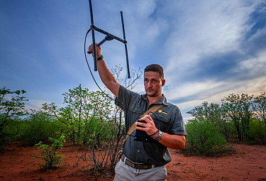 Researcher Francois Meyer uses radio telemetry to search for an adult Temminck's ground pangolin (Smutsia temminckii) that had been released back into the wild following its rehabilitation and res...