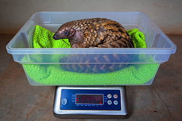 Orphaned Temminck's ground pangolin (Smutsia temminckii) is weighed to monitor its condition during rehabilitation at the Rhino Revolution facility in South Africa. This orphan was found abandoned...
