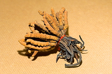 Caterpillar fungus (Ophiocordyceps sinensis), a rare traditional Chinese medicine sold to nourish yin and yang, for anti-aging and as natural viagra substitute- Dong Chong Xia Cho. Yunnan, China.