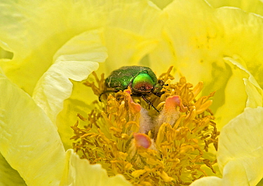 Rose chafer (Cetonia aurata) feeding on Caucasian peony (Paeonia mlokosewitschii) pollen. Surrey, England, UK. May.