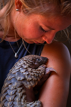 Vet cradling a young orphaned Temminck's Ground Pangolin (Smutsia temminckii) during its rehabilitation at the Rhino Revolution facility in Limpopo Province, South Africa. This orphan was found abando...