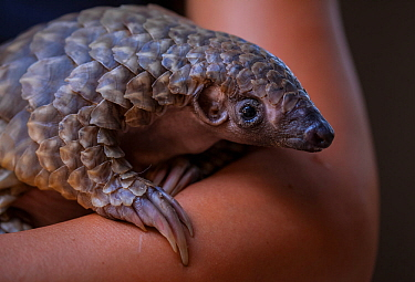 A vet cradles a young orphaned Temminck's Ground Pangolin (Smutsia temminckii) during its rehabilitation at the Rhino Revolution facility in Limpopo Province, South Africa. This orphan was found aband...