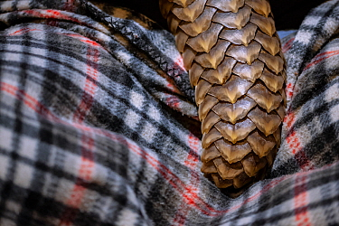 Tail of an orphaned adult Temminck's Ground Pangolin (Smutsia temminckii) during feeding at the Rhino Revolution rehab facility in Limpopo Province South Africa, showing the scales that make pango...