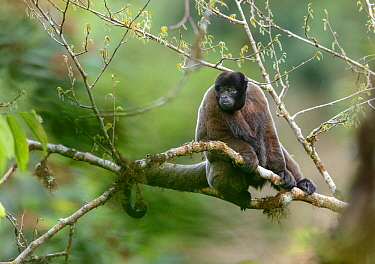 Grey woolly monkey (Lagothrix cana) sitting in the Peruvian cloud forest. Cusco, Peru. September. Cropped