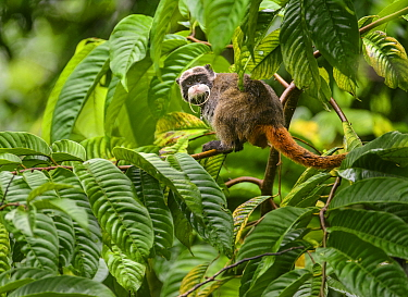 Emperor Tamarin (Saguinus imperator) in a rainforest clearing. The animal is one of many being studied, hence the metal band hanging from its neck. Madre de Dios, Peru. March. Cropped