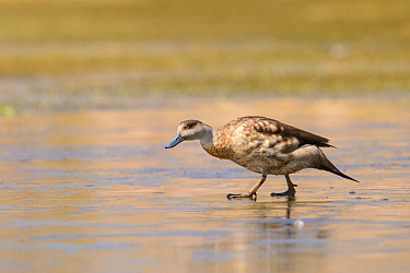 Crested duck (Lophonetta specularioides) walking on a frozen Andean lake. Arequipa, Peru. September. Cropped