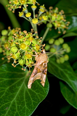 Angle shades moth (Phlogophora meticulosa) nectaring on Ivy (Hedera helix) at night. Surrey, England, UK. October.