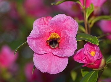 Tree bumblebee (Bombus hypnorum) nectaring on Camellia 'St Ewe' (Camellia  williamsii). Surrey, England, UK. March.