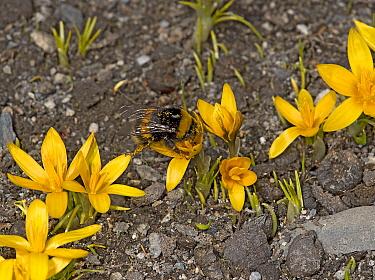 Bumblebee (Bombus sp) queen feeding on Crocus (Crocus korolkowii), covered in pollen. Ansob Pass, Tajikistan. April.